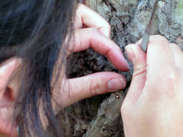 The woman attaches some metal balls in the tree bark